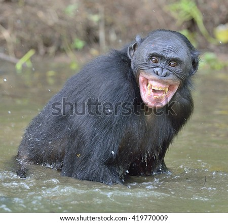 The chimpanzee  Bonobo ( Pan paniscus ) bathes with pleasure and smiles. Ape standing in water looks for the fruit which fell in water. Democratic Republic of Congo. Africa - stock photo