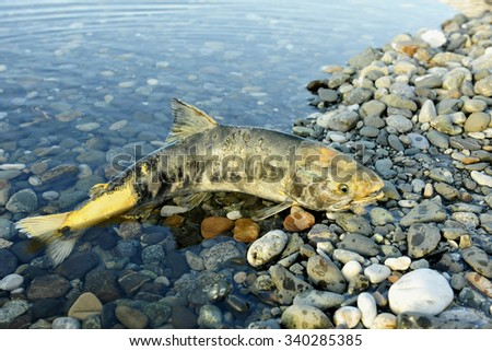 The chum salmon (Oncorhynchus keta)  the comer spawns dies in the river - stock photo