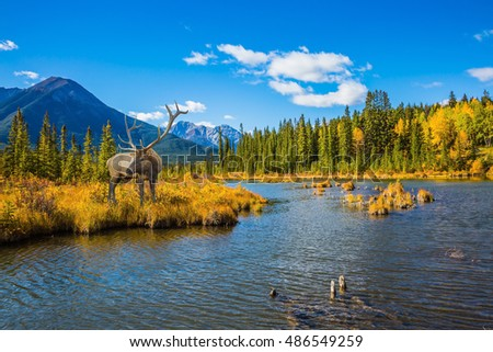 The concept of eco-tourism. The red deer with branchy horns is grazed on bank of the lake. Indian summer in the Rocky Mountains of Canada