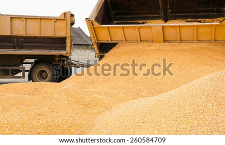 the corn unloaded in a heap after last harvesting - stock photo