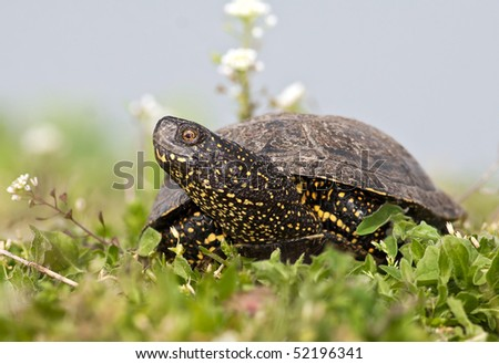 The European marsh turtle, Emys orbicularis