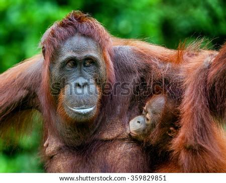 The female of the orangutan feeds a cub.  A female of the orangutan with a cub in a native habitat. pongo pygmaeus wurmmbii. Rainforest of Borneo. Indonesia    - stock photo