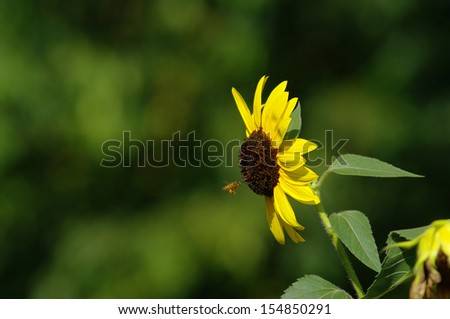 The flower of Sunflower with bee - stock photo