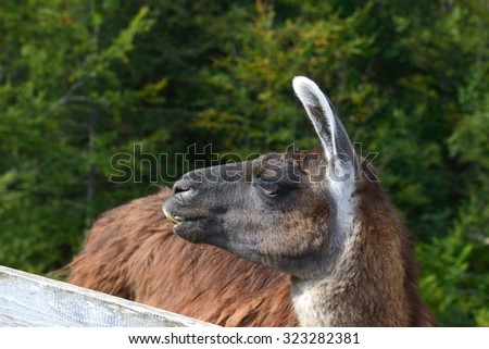 the funny beautiful llama, closeup - stock photo