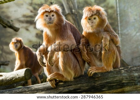 The Javan langur (Trachypithecus auratus) - stock photo