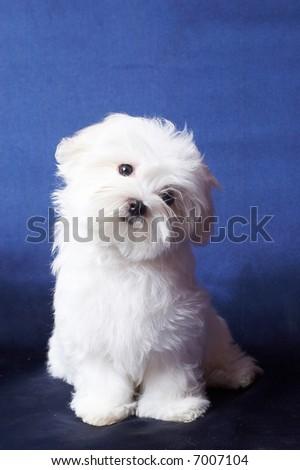 The Maltese lap dog - stock photo