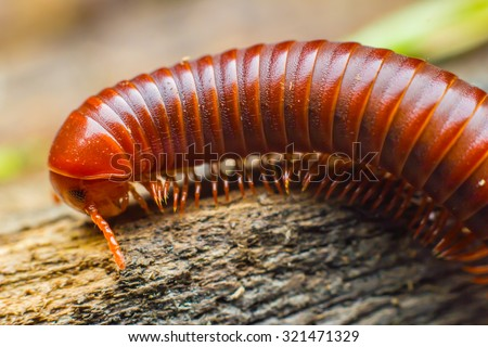 the millipede walking - stock photo