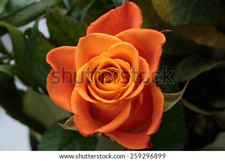 the orange-rose against the background of green leaves - stock photo