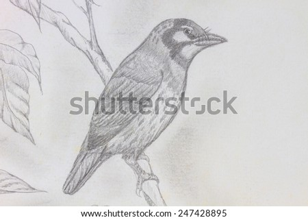 The original drawing of birds on white paper, Coppersmith Barbet