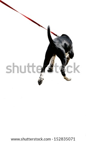 The photograph of a young, isolated dog on a leash/Dog on a leash