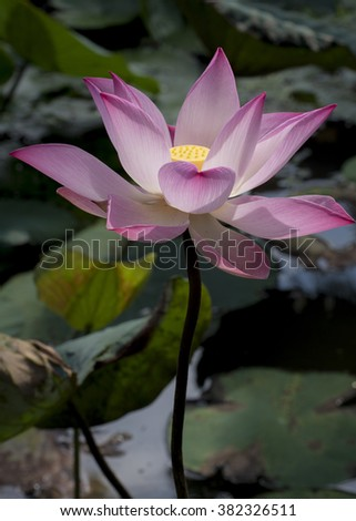 The pink Lotus, Nelumbo nucifera, is associated with  purity and faithfulness in Buddhism and is revered in many Asian countries. Flower stems, seeds, rhizomes and petals are all used in food dishes. - stock photo