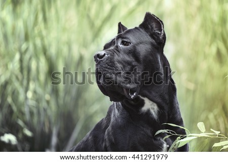 The portrait of Italian  cane-corso dog on the grass nature background
