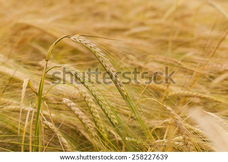 the ripened ears of cereals photographed by a close up - stock photo