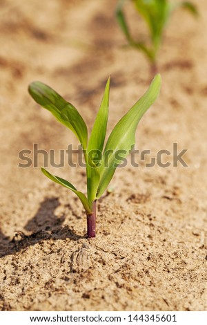 the small sprout of corn - stock photo