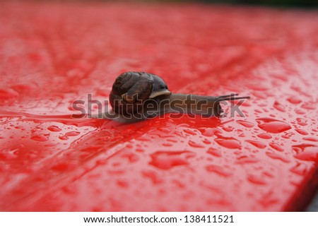 the snail creeps on a red background with drops - stock photo