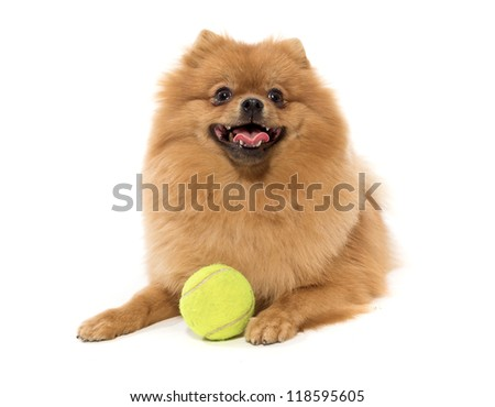 The spitz-dog sits on a white background with a ball - stock photo