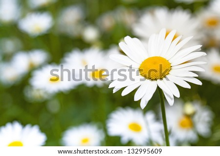 the wild white daisies growing in a field - stock photo