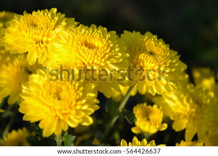 These blooming yellow flowers called chrysanthemum stock photo these are blooming yellow flowers called chrysanthemum or florists mun or mums flowers and a mightylinksfo