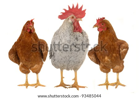 thoroughbred brown cock on a white background - stock photo