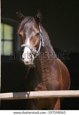 Thoroughbred horse portrait at the stable door. Close-up of a youngster chestnut bay - stock photo