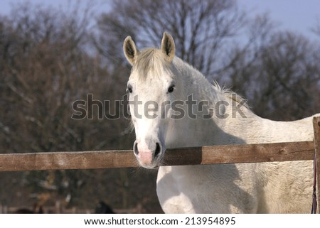Thoroughbred white horse standing  in winter corral - stock photo