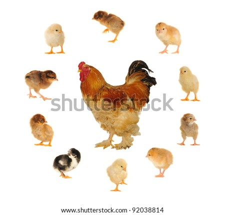 thoroughbred yellow cock on a white background - stock photo
