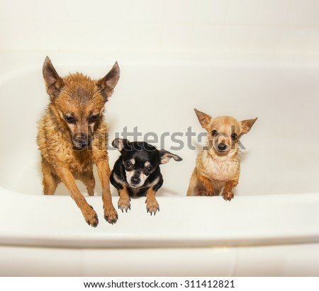 three tiny chihuahuas in a  bathtub shivering and soaking wet begging to get out - stock photo