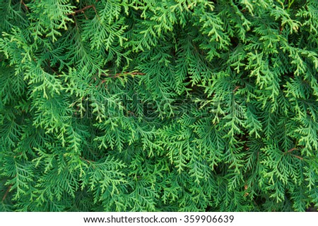 Thuja branches                       - stock photo