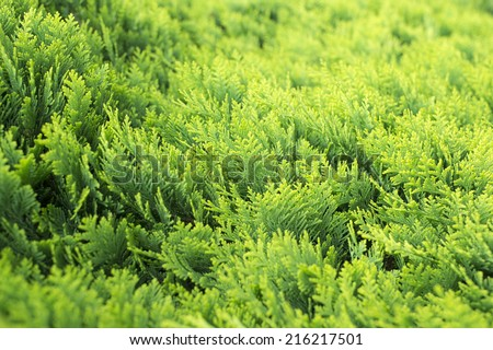 Thuja occidentalis background.Thuja occidentalis is an evergreen coniferous tree, in the cypress family Cupressaceae, which is native to the northeast of the United States and the southeast of Canada - stock photo
