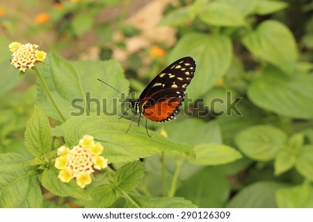 """""""Tiger Longwing"""" butterfly (or Hecale Longwing, Golden Longwing, Golden Heliconian) in Innsbruck, Austria. Its scientific name is Heliconius Hecale, native to Mexico, Peru and Costa Rica. - stock photo"""