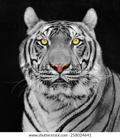 Tiger, portrait of a  tiger. - stock photo