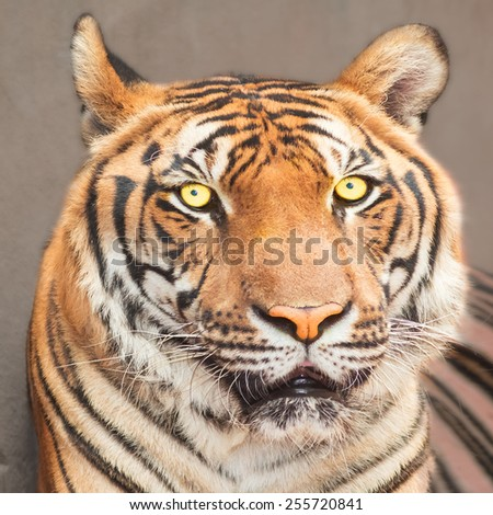 Tiger    Tiger    Tiger - stock photo