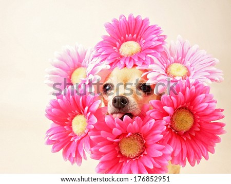 tiny chihuahua with flowers around his head  - stock photo