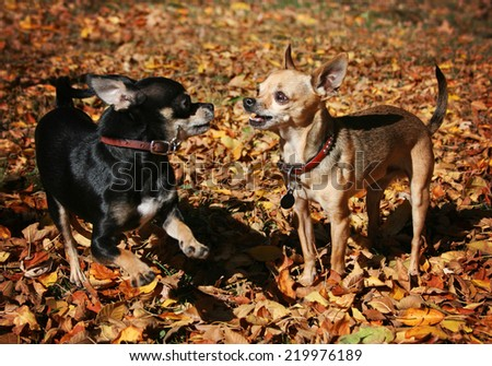 tiny chihuahuas playing in the leaves during a sunny fall or autumn day - stock photo