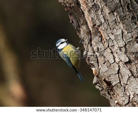 Tit bird in nature - stock photo