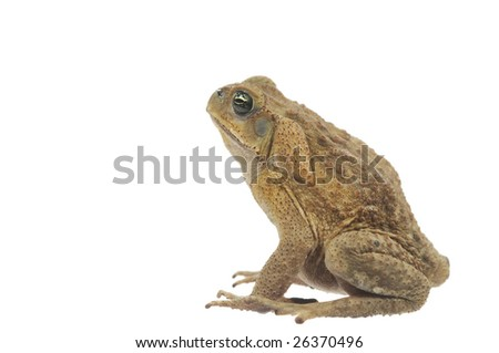 Toad isolated on a white background