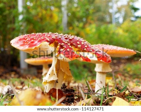 Toadstool mushroom, isolated, closeup in the grass
