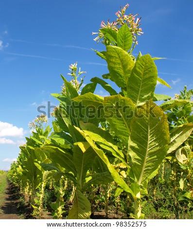 tobacco plants , Cuba - stock photo