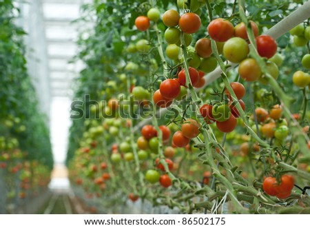 tomato growing in greenhouse - stock photo