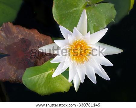 top view white lotus  - stock photo