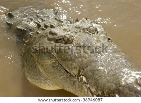 """"""" tornado """" a huge aggressive adult male costa rican american crocodile 3 - stock photo"""