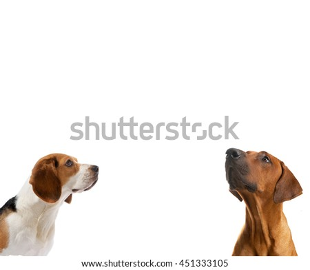 Tow dogs  looking up side on isolated white background                                - stock photo