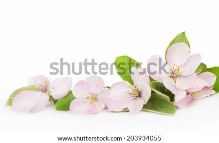 tree blossoms. spring flowers isolated on white background  - stock photo