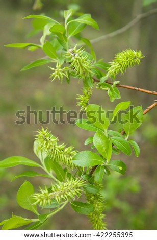 tree branch in the early spring with young green leaves and fluffy shoots - stock photo