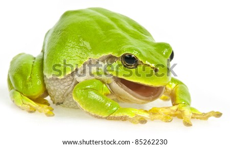 tree frog isolated on white background - stock photo