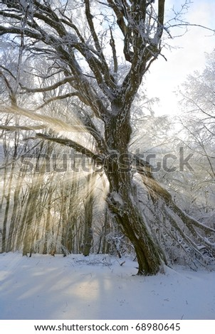 tree in a winter forest in a rays of sun