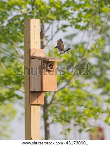 2 tree swallows at bird house in Virginia.   One landing on top of box, the other one in the hole. - stock photo