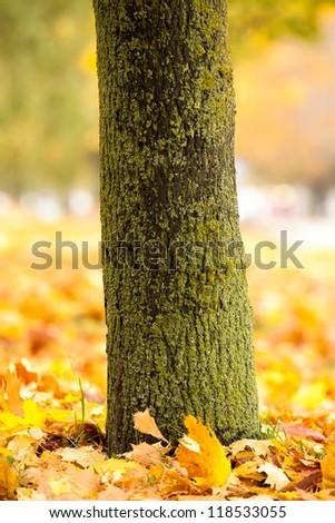 tree trunk in an autumn season. on the earth lie fallen down foliage - stock photo