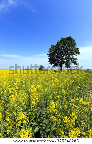 tree with green leaves growing in a field, which grows rapeseed - stock photo