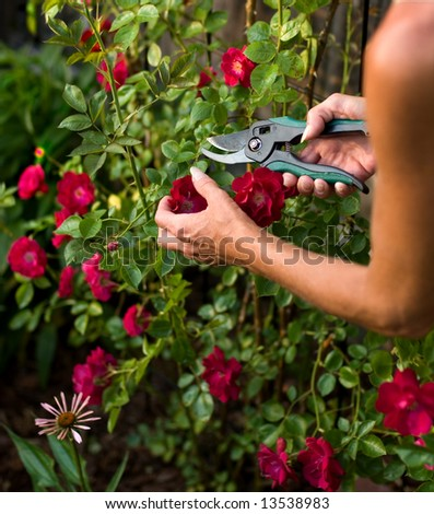 trimming a  rose bush - stock photo